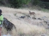 Deer along the Rogue River