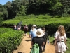Hiking through tea plantations