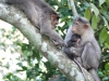 Monkeys near Periyar