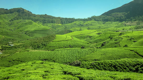 Tea plantations munnar india tour