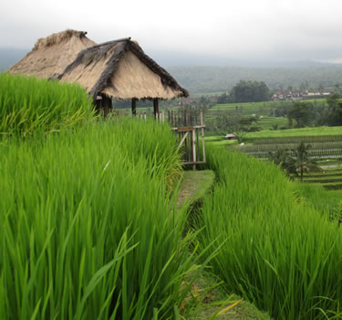 Bali Rice Fields Hut