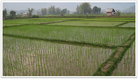 Rice fields near Hanoi