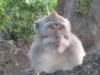 Monkey at Mt. Batur