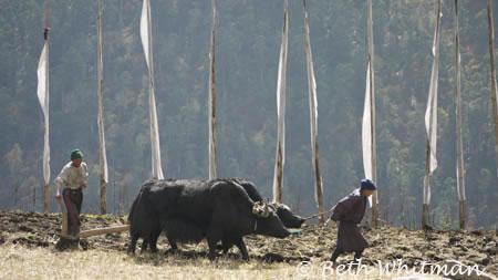 Plowing Laya fields