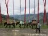 Horses-Flags