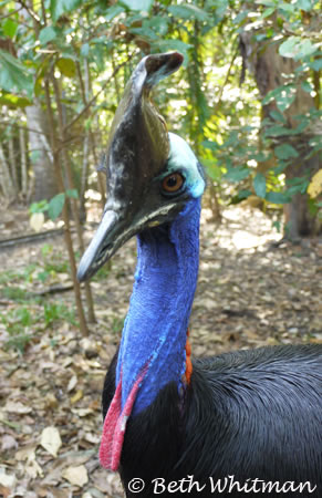 Cassowary at Botanical Gardens in Port Moresby