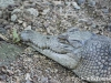 Crocodile at Botanical Gardens in Port Moresby