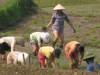 Rice workers in the north