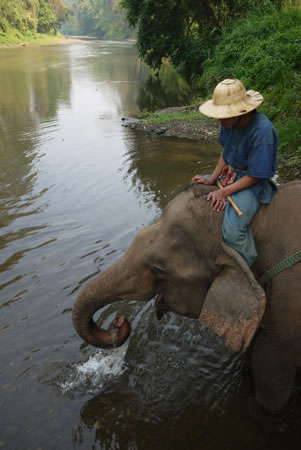 Elephant on River Chiang Mai