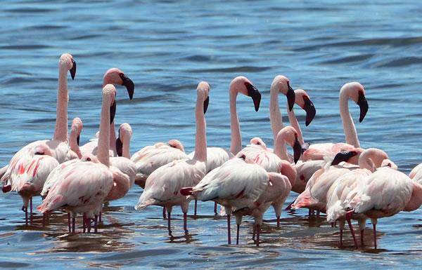 Serengeti Flamingos
