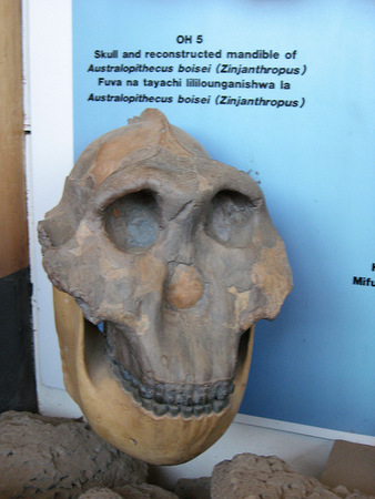 Olduvai skull