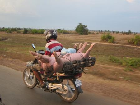 Vietnam Motobike-Pigs