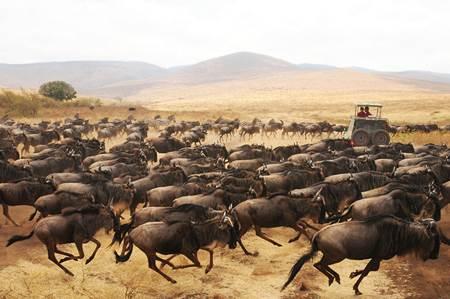 Tanzania Wildebeests