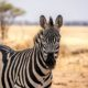 Tarangire National Park Zebra
