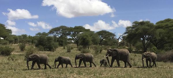 elephants Tarangire Tanzania