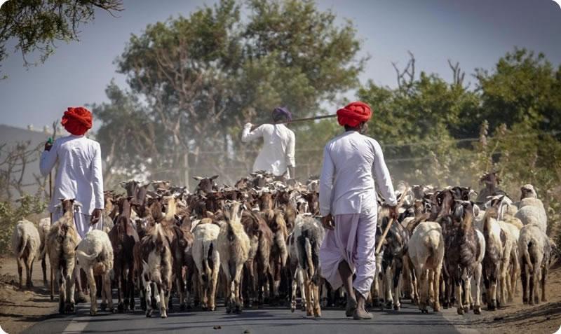 Goat herders Gujarat