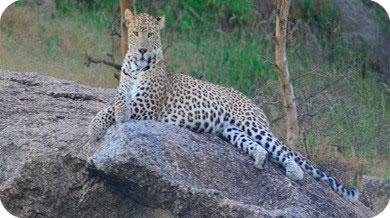 Leopard Rajasthan