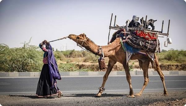 Rabari Camel Gujarat