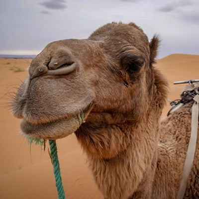 Morocco Camel Sahara